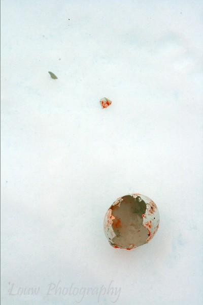 Broken penguin egg, Petermann Island, Antarctica