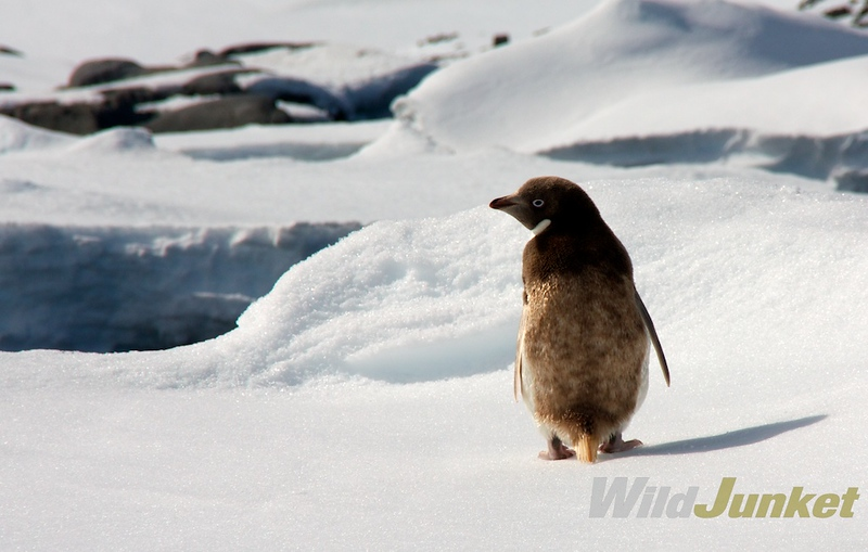 Adelie penguin in Port Lockroy