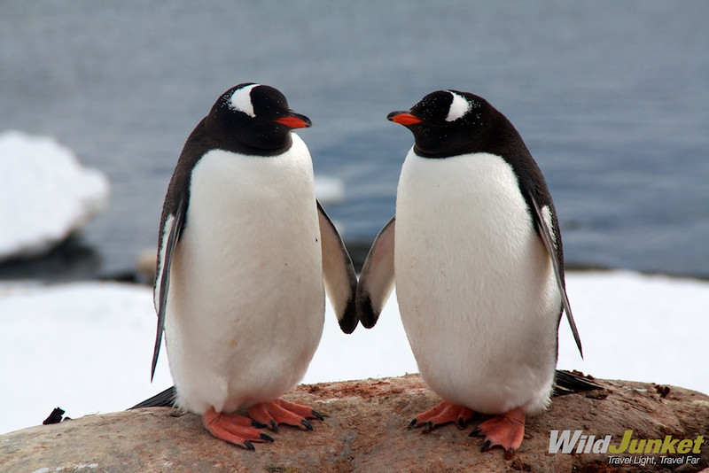 A gentoo couple in love