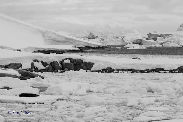 Seal Sleeping on Ice in a Crowded Bay (BW) #1
