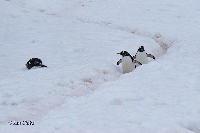 Penguin Highway or Shortcut?