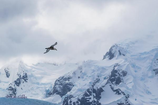 Petrel in Flight
