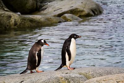 Expedition Day 5 - Petermann Island; Gentoo and Adélie penguin. 13 January 2015