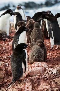 Expedition Day 5 - Petermann Island; Adélie Penguin Colony. 13 January 2015