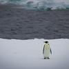 First Emperor Penguin