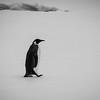 Second Emperor Penguin