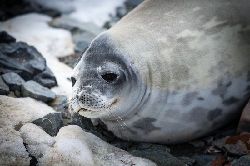 Weddell Seal...my favorite