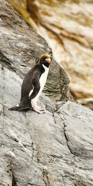 macaroni-penguin-cooper-bay