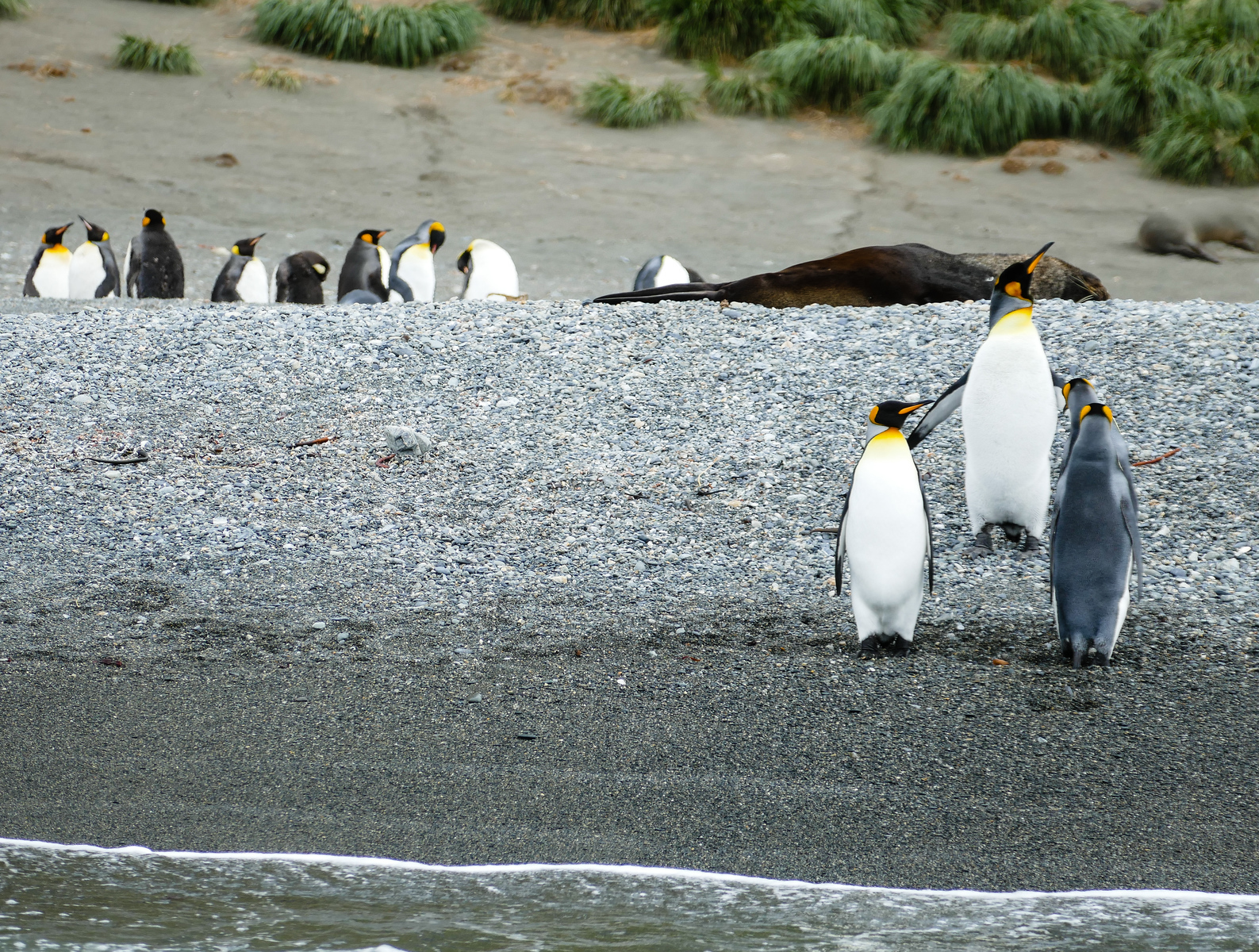 King penguins standing near the water's edge on a visit to Cooper Island in South Georgia.