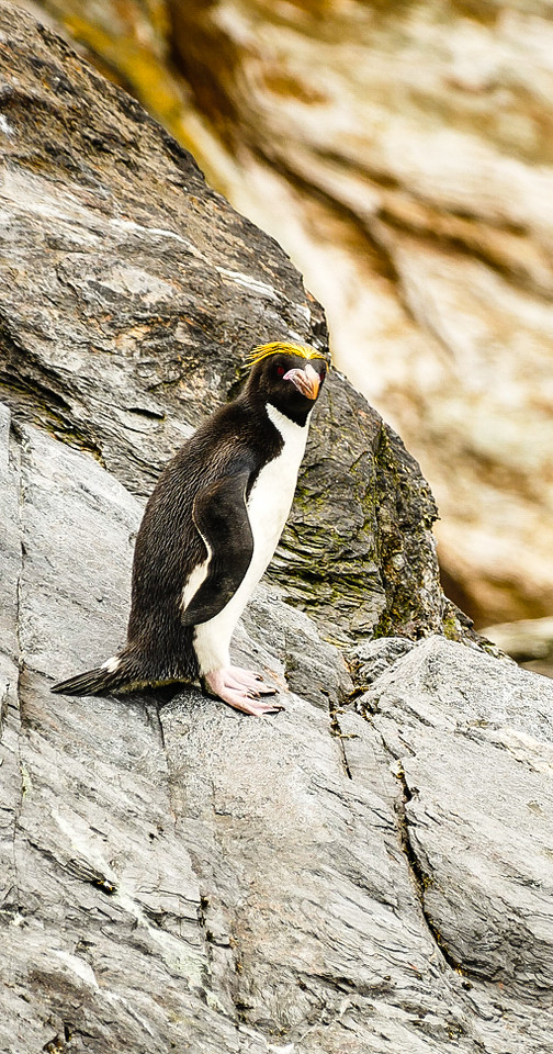 A macaroni penguin on Cooper Island in South Georgia. You'll meet this fancy fellow when your Seabourn Quest cruise travels to Antarctica.