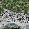king-penguins-cooper-bay