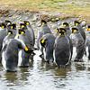 king-penguins-grytviken