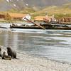 whaling-seals-grytviken