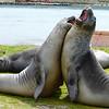 elephant-seals-fighting-grytviken