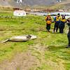 sleeping-elephant-seal-grytviken