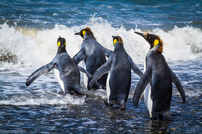 Young King penguins headed out for swim - note last of their baby brown fuzz feathers still on their head