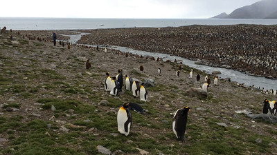 Video of one of the large King Penguin colonies on South Georgia