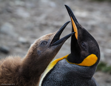 Youngster King Penguin  wants his dinner !