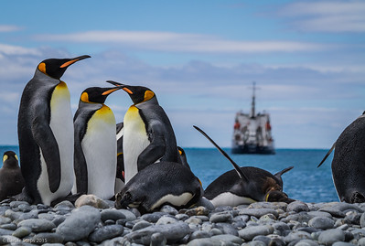 King penguins on shore with our ship Polar Pioneer