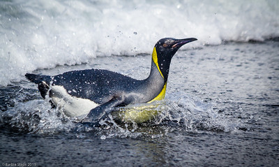 Young King penguin surfing onto shore