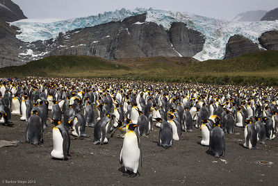 Thousands of King Penguins on South Georgia Island