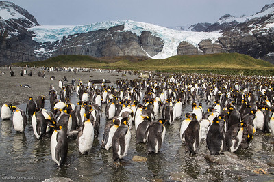 Thousands of King Penguins