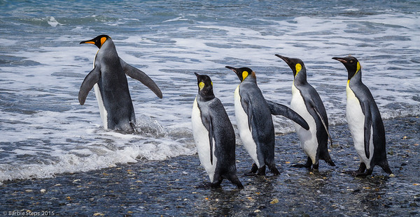 Adult King penguin and some youngsters cooling off in surf