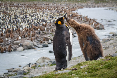King penguin and chick (starting to lose its baby brown fuzz)  with background of thousands of more King Penguins - youngster wants his dinner !
