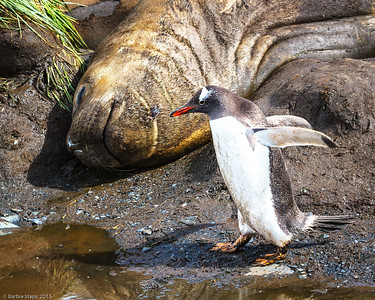 Gentoo Penguin and sleeping Elephant Seal