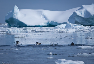 Antarctica-wildlife-gentoo-penguin-swimming-1