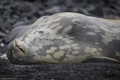 Leopard-seal-Antarctica-1