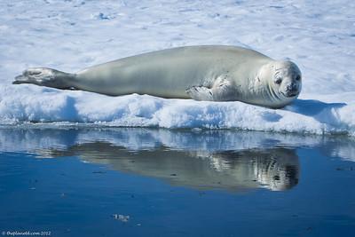 Weddell-seal-Antarctica-1