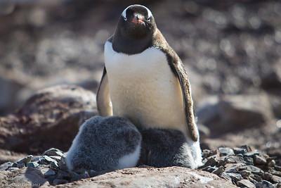 Antarctica-wildlife-gentoo-penguin-chicks-1