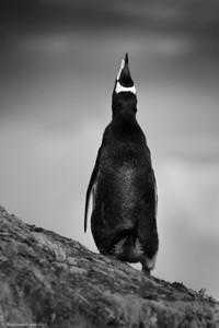 Antarctica-wildlife-gentoo-penguin-1