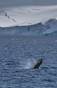 Humback-whale-breaching-Antarctica
