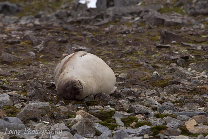 Southern Elephant Seal at Robert Island, South Shetland Islands