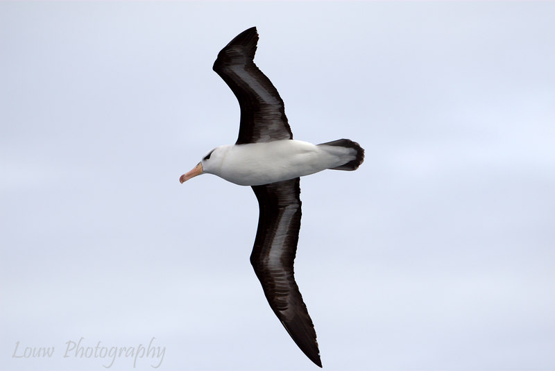 Black-browed Albatross over The Drake Passage