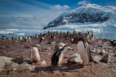 Gentoo-penguins-Antarctica-2