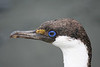 "Antarctic Blue-Eyed Shag. Photo Courtesy of the <A HREF=""http://www.antarctic.cl/"" TARGET=""NEWWIN"">Antarctic Dream</A>"