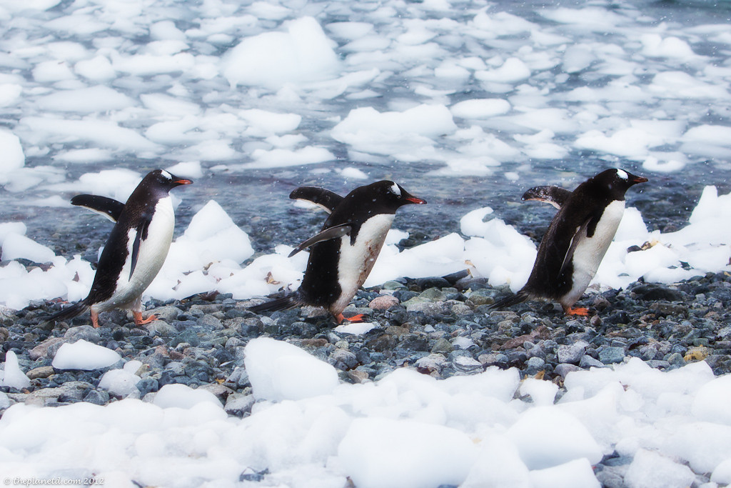 Antarctica-penguins-wild