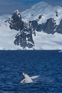 Humback-whale-breaching-Antarctica-3