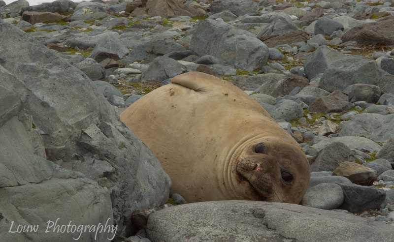 Southern Elephant Seal Pup at Robert Island, South Shetland Islands