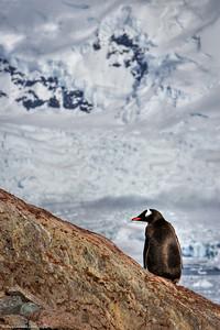 Penguin-antarctica-wildlife-niko-island-1