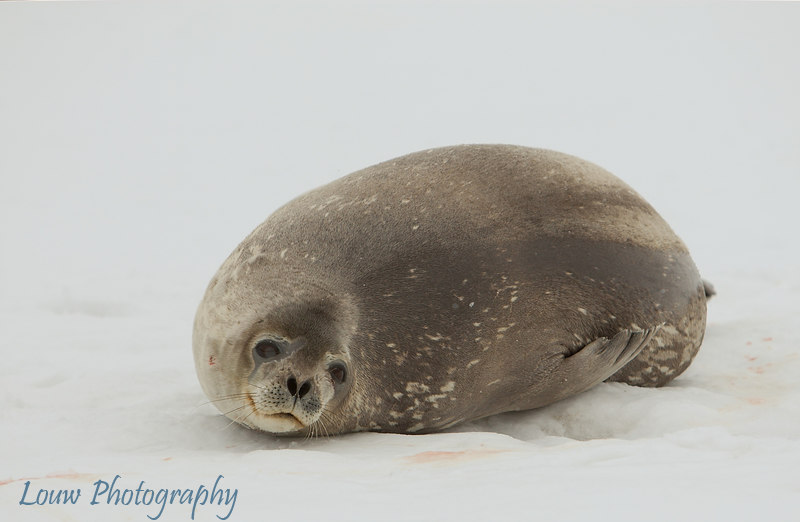 Weddell Seal at Robert Island, South Shetland Islands