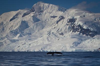 Humback-whale-Fluke-Antarctica-1