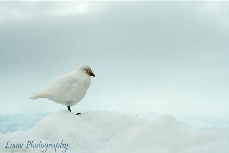 Snowy Sheathbill, Neko Harbor, Antarctica