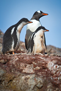 Antarctica-pebguins-wildlife-1