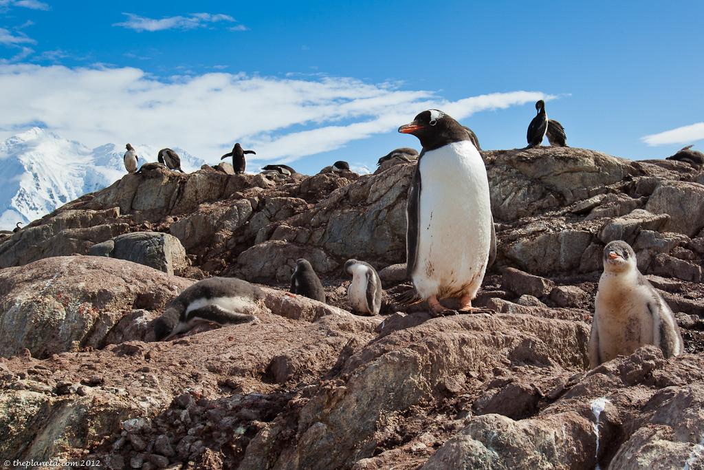 Penguins-antarctica-gentoo