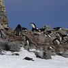 Chinstrap Penguins (Pygoscelis antarctica).  Half Moon Island, north of Burgas Peninsula of Livingston Island in the South Shetland Islands of the Antarctic Peninsula region.