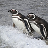 Magellanic Penguin (Spheniscus magellanicus), Beagle Channel